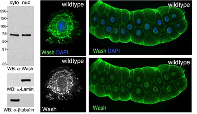 Wash is expressed in both the cytoplasm and the nucleus.