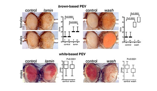 Wash and Lamin suppress brown-mediated Position Effect Variegation (PEV) but enhance white-mediated PEV