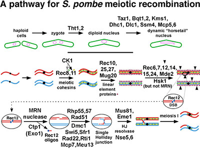 A pathway for S. pombe meiotic recombination