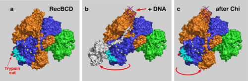 Crystal structure of RecBCD enzyme bound to DNA; a pathway for RecBCD-promoted recombination in E. coli and signal transduction model.